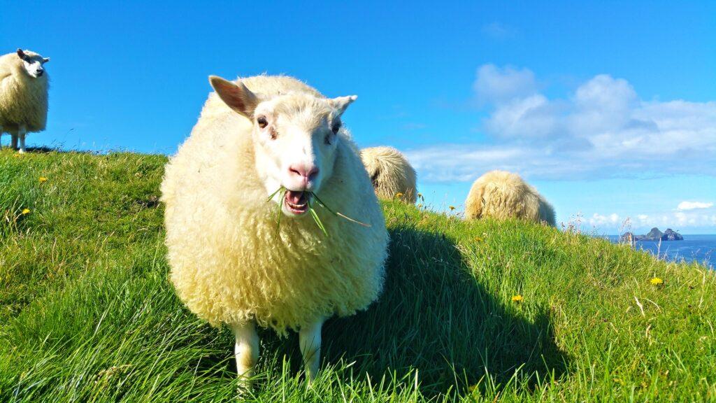Pecore inslandesi